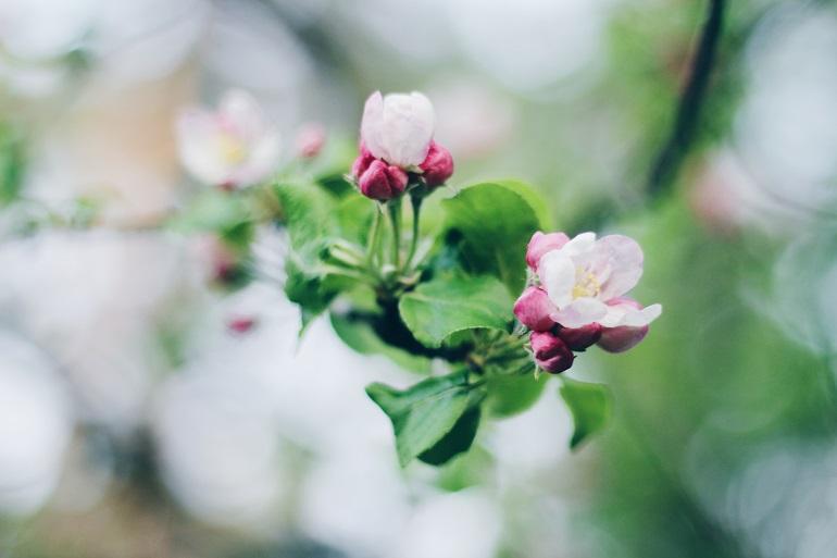 Яблоневый цвет - пробуждение природы